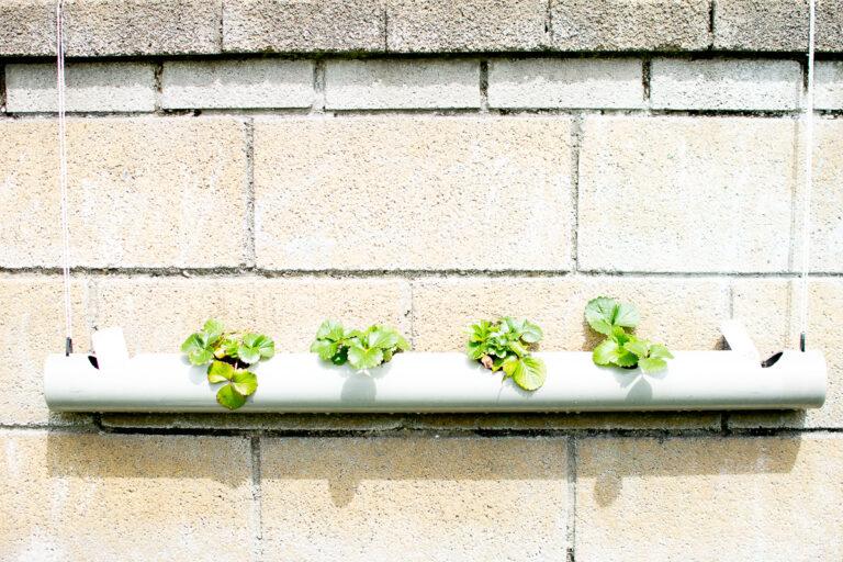 Strawberry Plants growing in the Nursery garden
